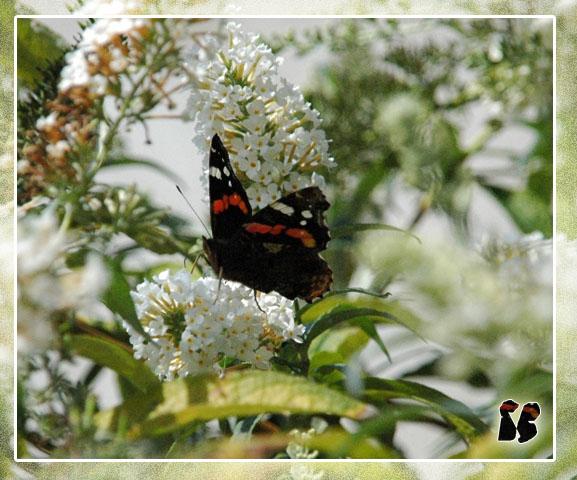 ** Liebe > und < Schmetterling **