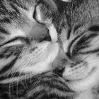 Liebe unter Katzen