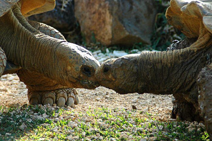 Liebe unter Riesenschildkröten