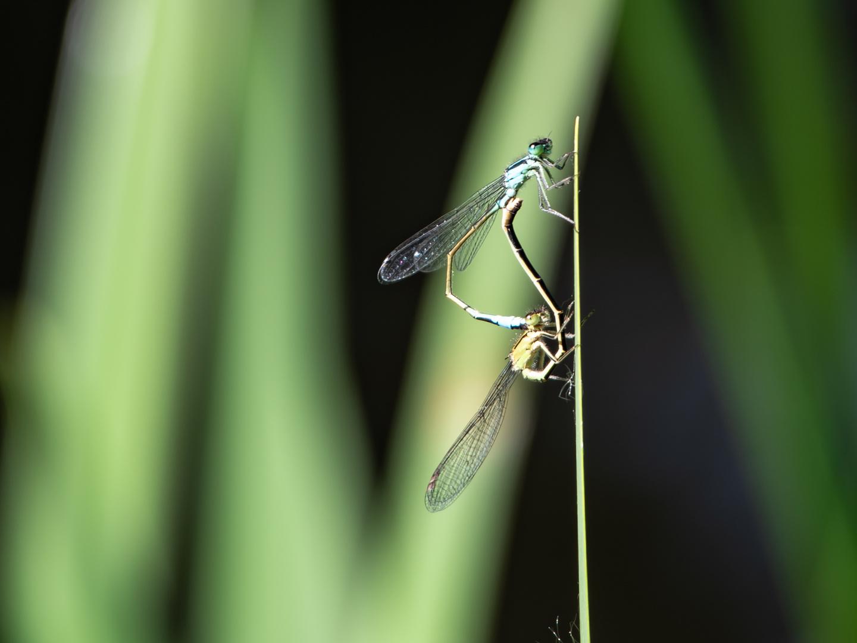 Liebe,Liebe, Liebelei- Libellen