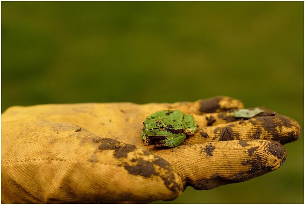 lieber den frosch in der hand...