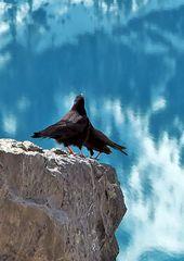 Liebeserklärung bei den Alpendohlen (Pyrrhocorax graculus)