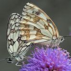 Liebeserklärung zwischen zwei Schachbrettfaltern (Melanargia galathea). - Tendresse sur une fleur!