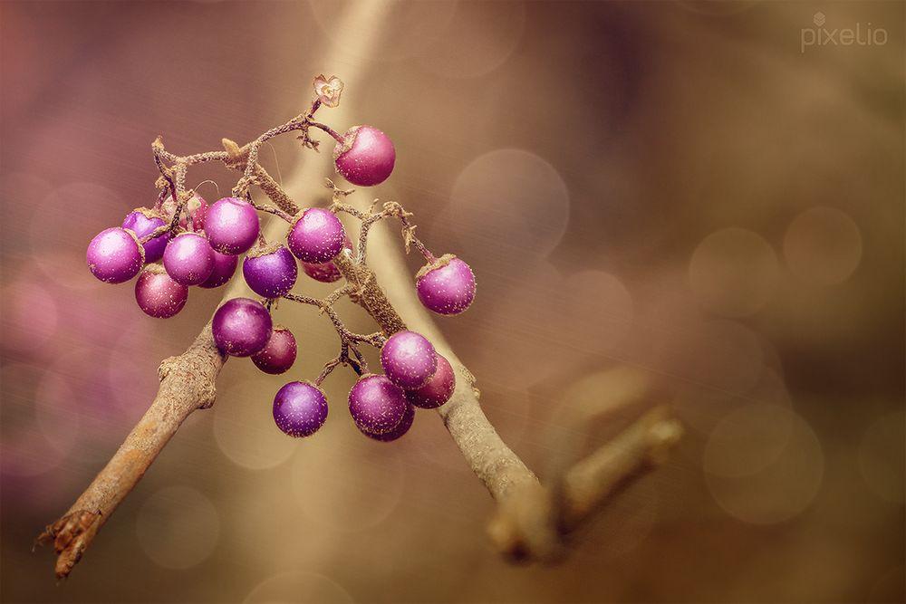 Liebesperlenstrauch (Callicarpa bodienieri)