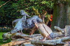Liebeswerben bei den Pelikanen