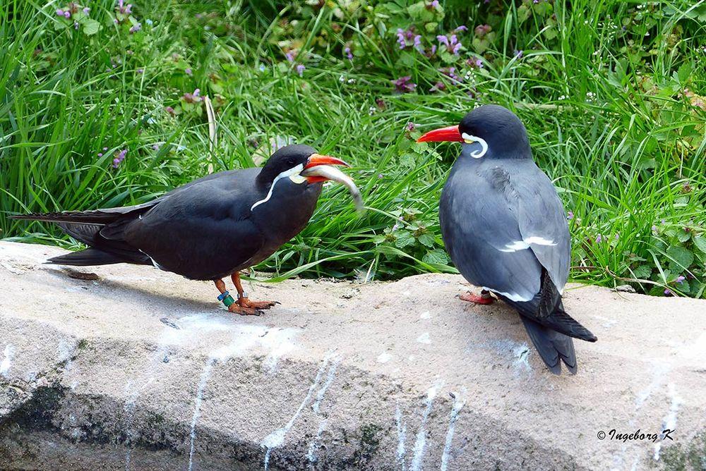 Liebeswerben mit Futterangebot - leider lange Zeit vergeblich - Zoo Krefeld