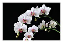 Lieblingsphalaenopsis