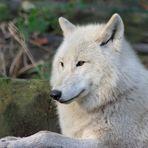 liegender Polarwolf im Wolfspark von Werner Freund in Merzig