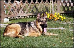 Liesie, der Schäferhund