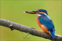 [ life of kingfishers ~10 ]