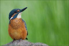 [ life of kingfishers ~8 ]