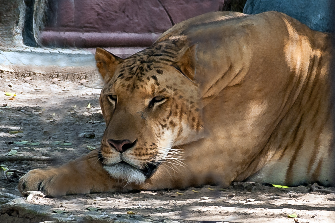 Liger in the zoo of Suphanburi