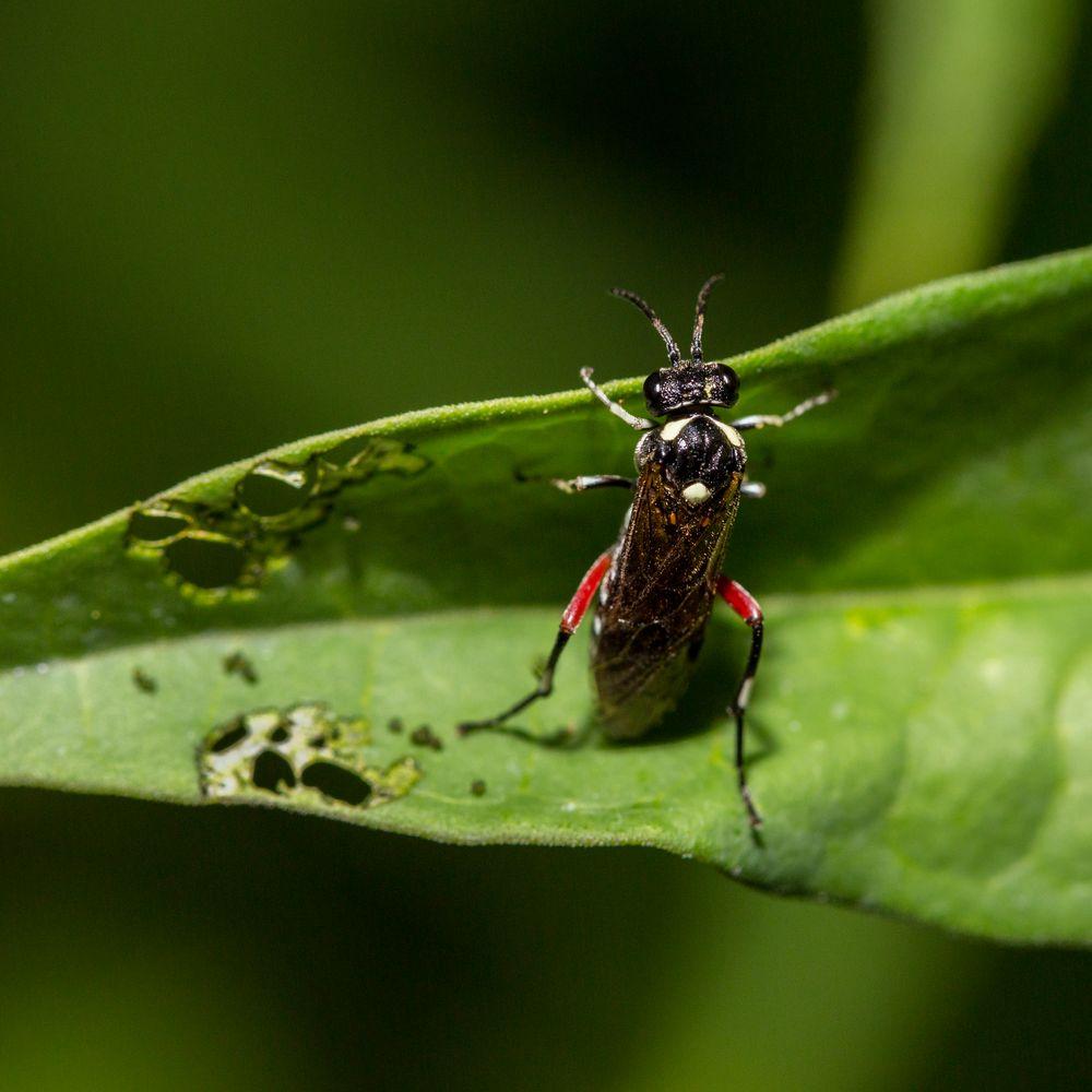Liguster-Blattwespe (Macrophya punctumalbum)