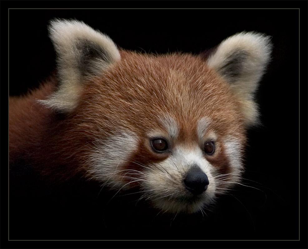 lil' Panda III