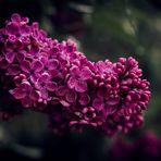 ..Lila Blüten..