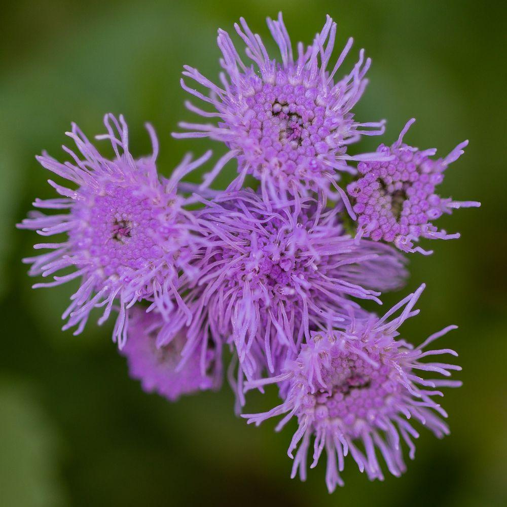 lila Blume-3475