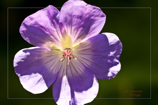 Lila-Blume