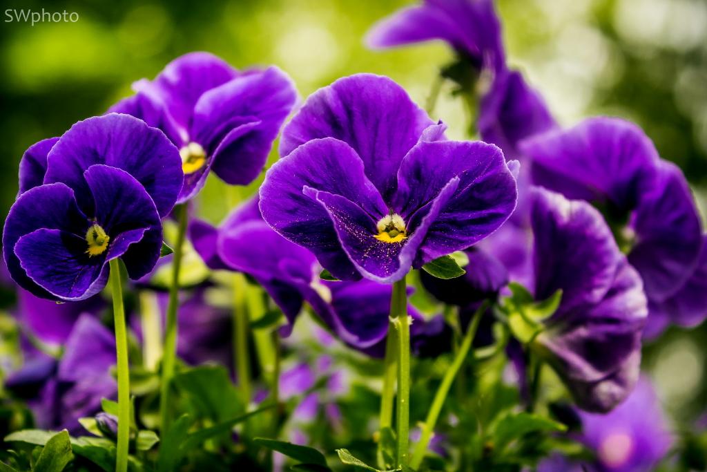 lila blume mit bl tenstaub foto bild pflanzen pilze flechten bl ten kleinpflanzen. Black Bedroom Furniture Sets. Home Design Ideas