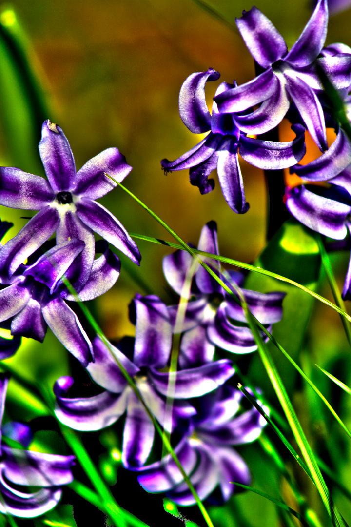 Lila im Frühling