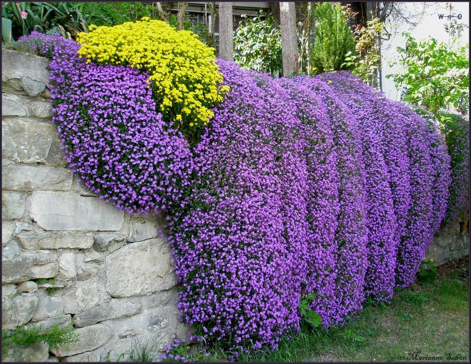 lila kissen foto bild pflanzen pilze flechten bl ten kleinpflanzen mauerbl mchen. Black Bedroom Furniture Sets. Home Design Ideas