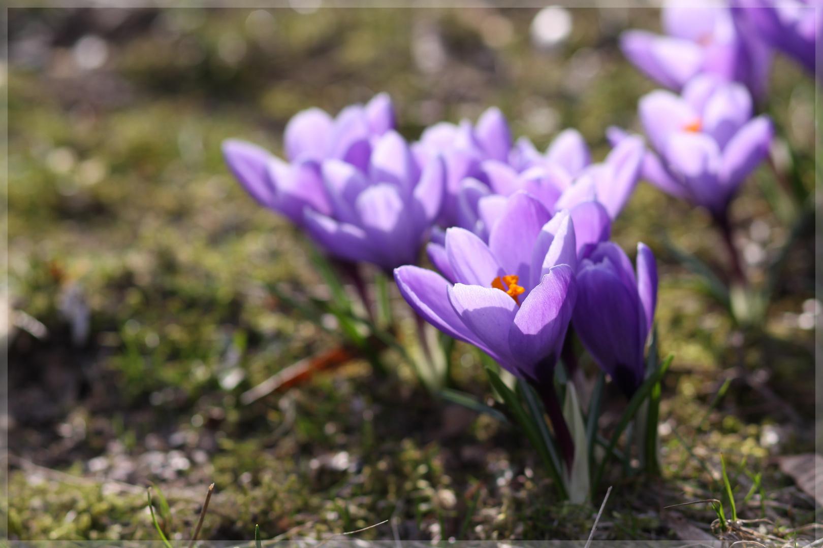 LILA kommt der Frühling :-)