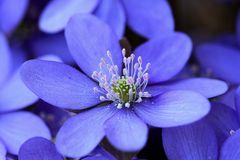 Lila Leberblümchen