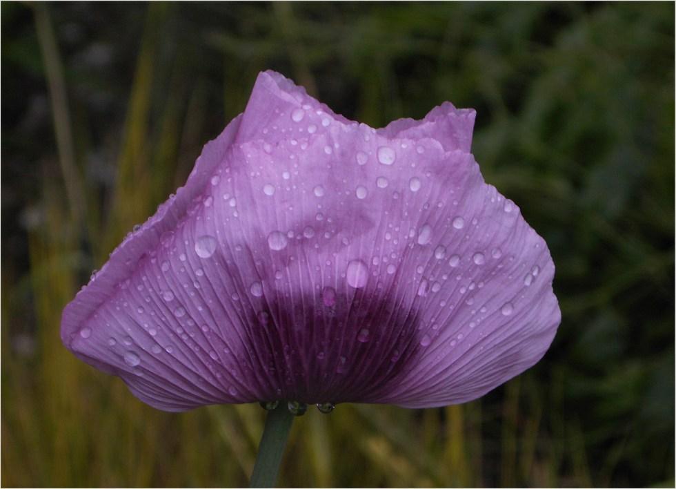 lila Mohn im Regen