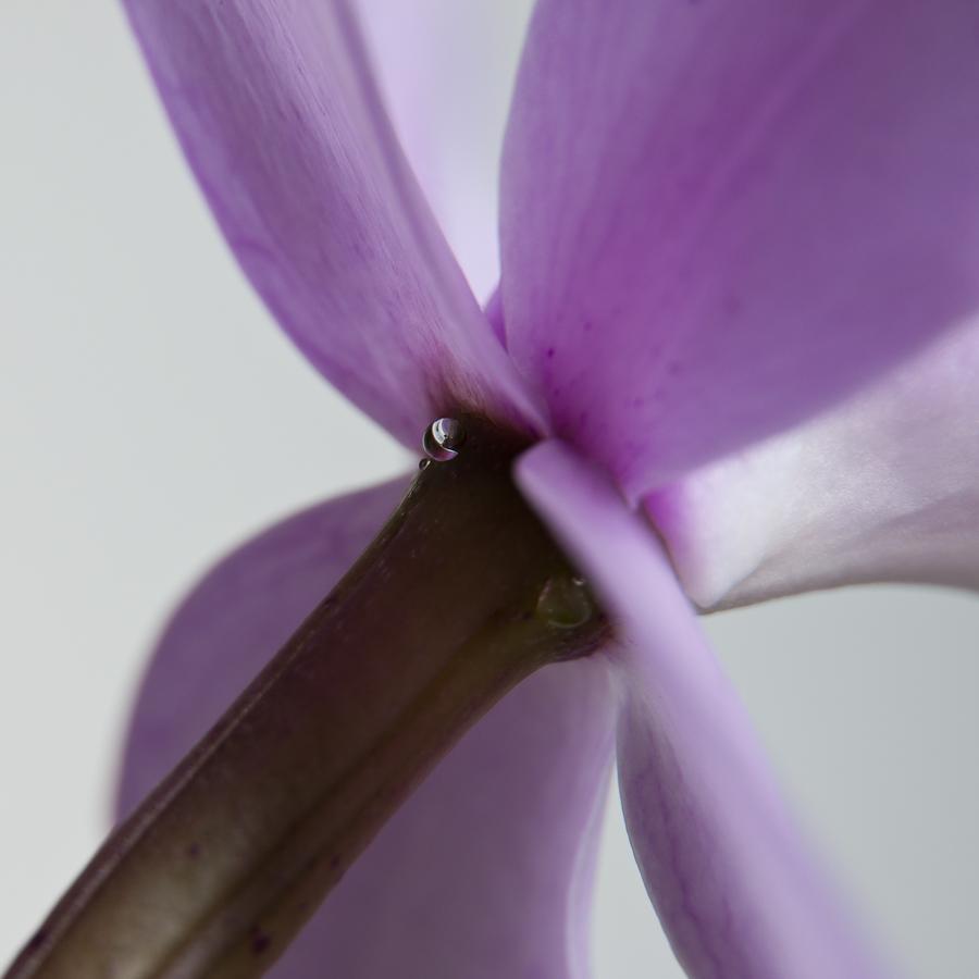 lila Orchidee