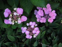 lila, rosa und weiß