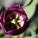 lila Tulpe