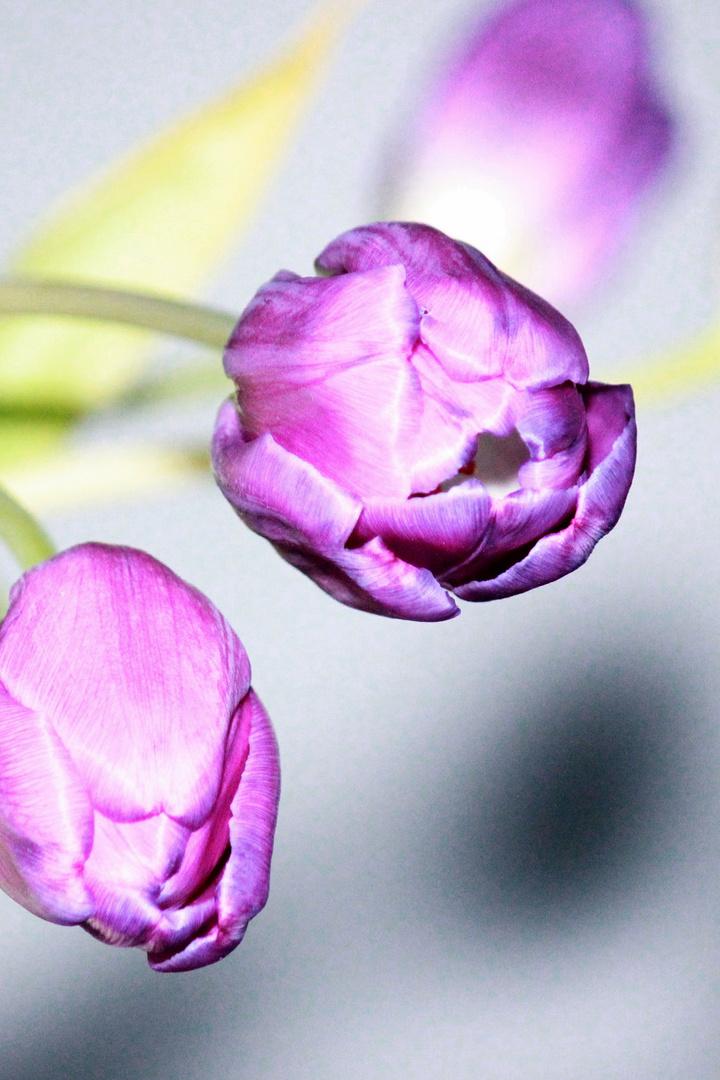 lila tulpen foto bild pflanzen pilze flechten bl ten kleinpflanzen tulpen bilder auf. Black Bedroom Furniture Sets. Home Design Ideas