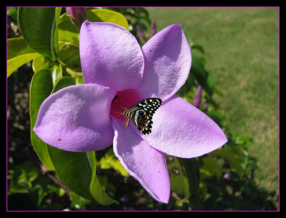 Lilac faerie