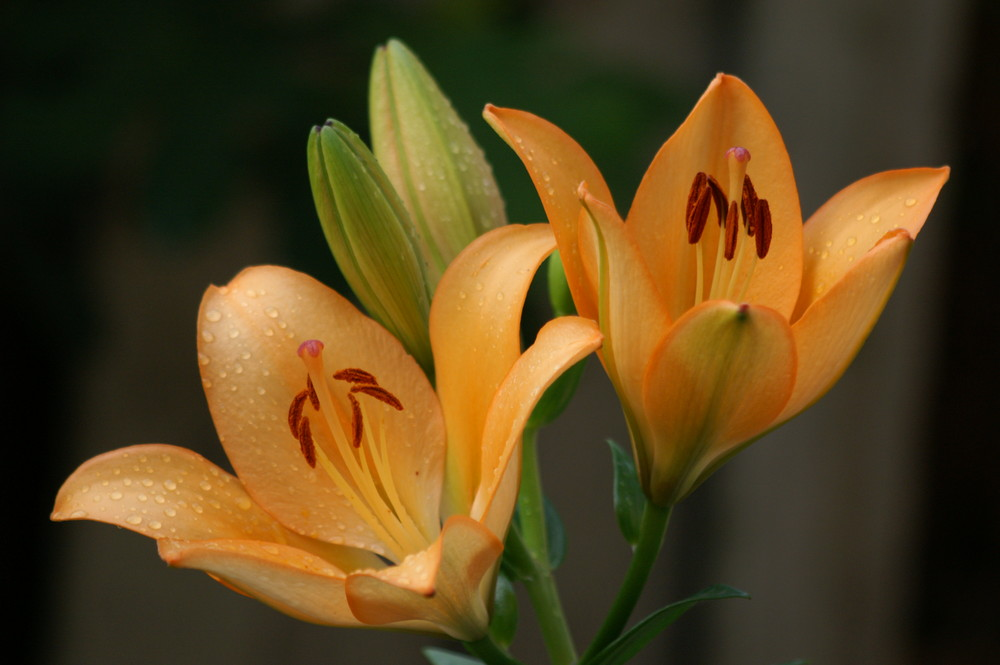Lilie am Morgen - I