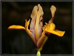 Lilie am Teich
