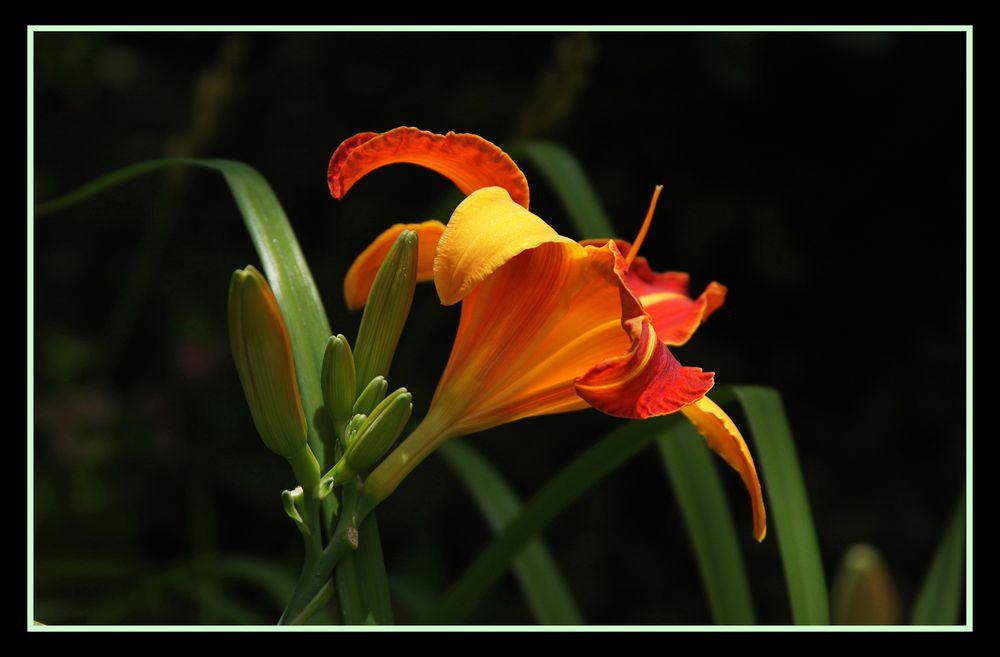 Lilie an der Mittagssonne