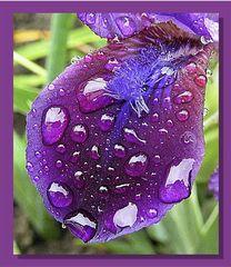 Lilie im Regen 01