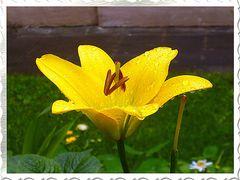 Lilie im Regen