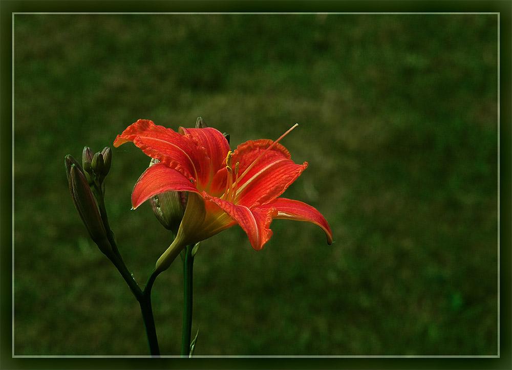 Lilie in der Abendsonne