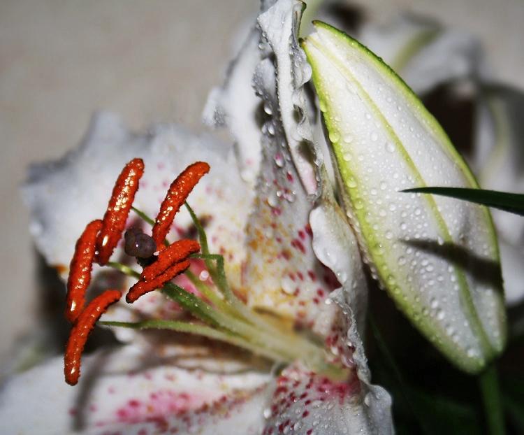 Lilie nach dem Regen