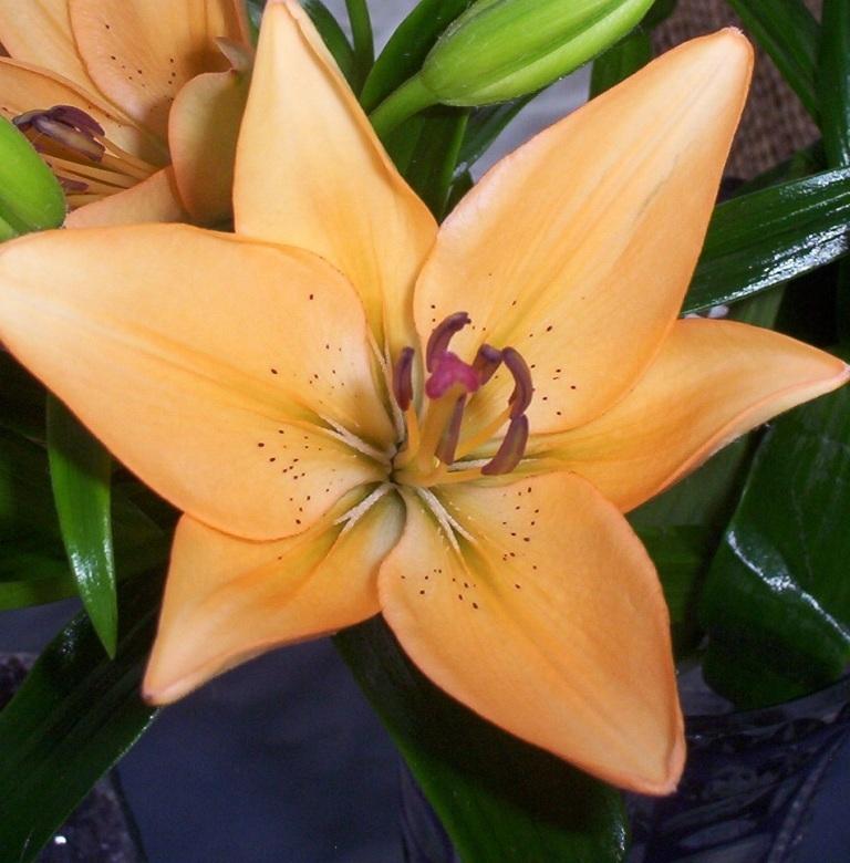 Lilie - Orange