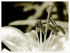 lilie schwarz-weiß