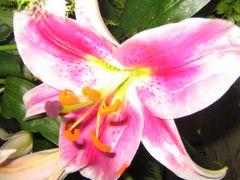 lilie so schön