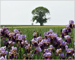 Lilien auf dem Felde