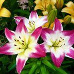 Lilien - blühen selbst bei Regen