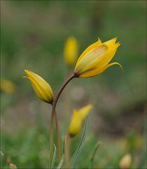Lilien des Feldes.