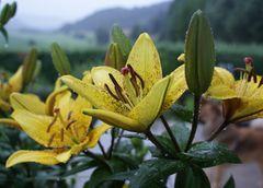 Lilien & Hook im Regen