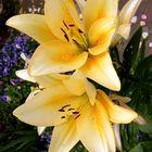 Lilien in Gelb