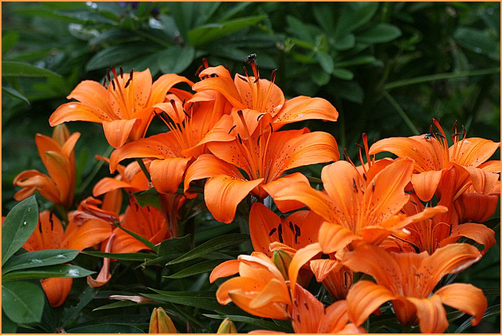 Lilien in orange