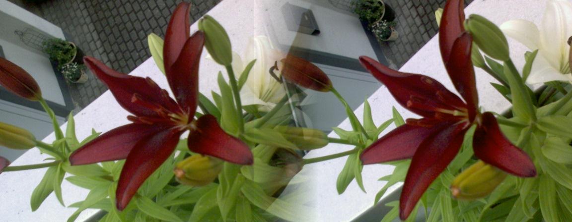 Lilien mal doppelt