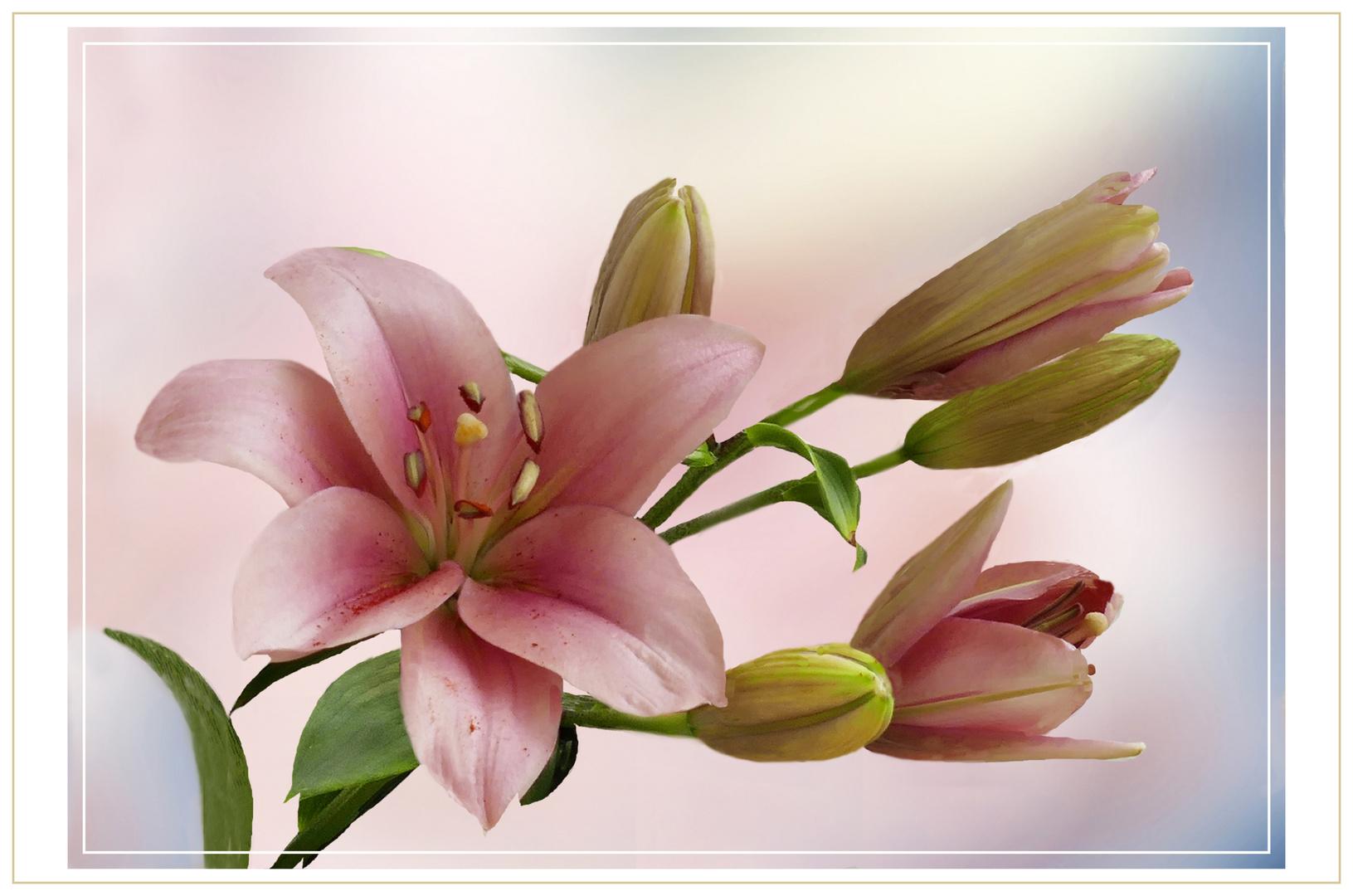 Lilien mit knospen
